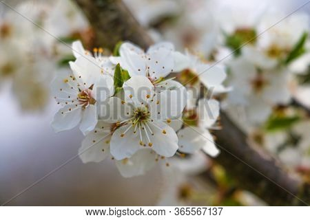 The Flowers On The Trees,blossoming Garden,the Flowers Bloom On The Branches,cherry Blossom,white Ch