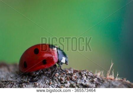 Ladybug With Black Eyes In Macro. Super Macro Photo Of Insects And Bugs. Ladybug On Blurred Backgrou