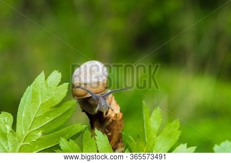 Little Snail In The Sun. Snail In Brown Colors On Green Blurred Background. Concept Photo Of Sunny S
