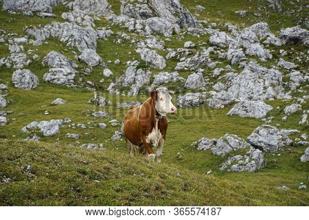 Between The Rocks: Cow In The Dolomite Mountains / Mastle Alp / Puez Geisler Nature Park