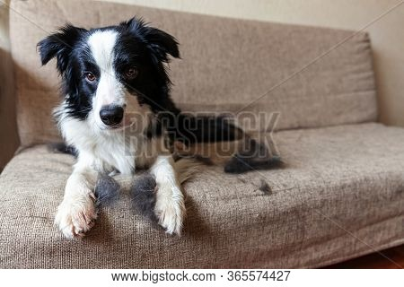 Funny Portrait Of Cute Puppy Dog Border Collie With Fur In Moulting Lying Down On Couch. Furry Littl