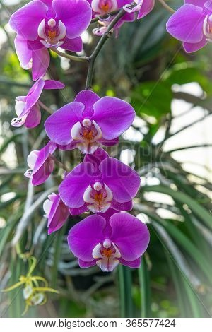 Vibrant Purple Orchids In An Ornamental Garden.