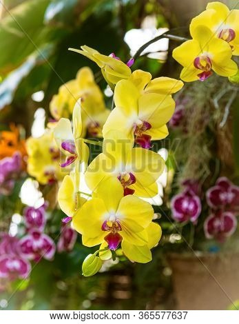 A Close-up Of Beautiful Yellow Orchids In An Ornamental Garden.