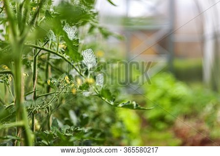 Gardening And Agriculture Concept. Organic Tomatoes Growing In Greenhouse. Greenhouse Produce. Veget