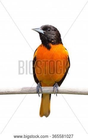 A Baltimore Oriole Isolated On A White Background.