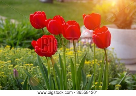 Fiery Red-orange Tulips On A Blurred Background