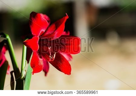 Beautiful Red Blooming Lily In Macro.colorful Plant On Green Background.big Pistil And Stamens.