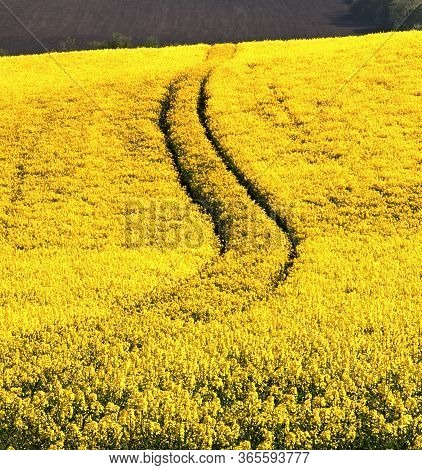 Ruts In A Field Of Oilseed Rape, Bright Yellow Field