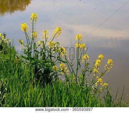 Oilseed Rape Plants On The Shore Of The Pond, Still Life By The Water