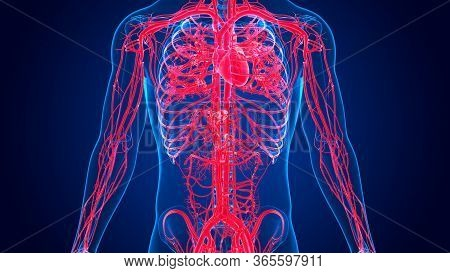 3d Illustration Human Heart Anatomy With Circulatory System For Medical Concept