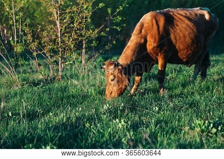 A Beautiful Cow Grazes On The Field, The Cow Eats Fresh Green Grass, A Clean Environmental Product.