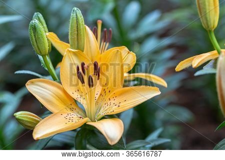 Asiatic Lily Or Asiatic Lilies Flower In Garden At Sunny Summer Or Spring Day. Orange Lily Flower.