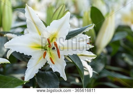 Asiatic Lily Or Asiatic Lilies Flower In Garden At Sunny Summer Or Spring Day. White Lily Flower.