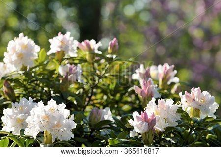 Big Azalea Or Rhododendron In Garden. Season Of Flowering Azaleas (rhododendron) At Garden