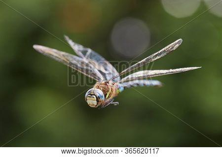 Dragonfly macro in flight shot, mid-air
