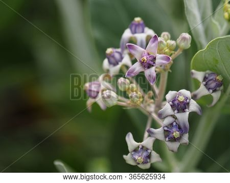 Star Shape Crown Flower, Calotropis Gigantea, Apocynaceae, Asclepiadoideae Five Sepals, Which Have C