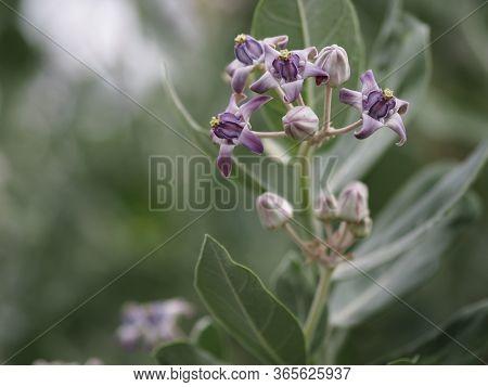 Crown Flower, Calotropis Gigantea, Apocynaceae, Asclepiadoideae Five Sepals, Which Have Cones Connec