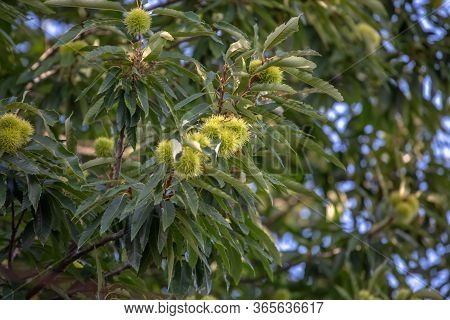 View Of Chestnut Tree With Detail Of Chestnut Hedgehogs...