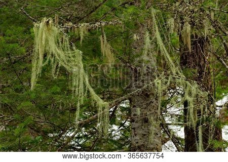 Russia, Kuznetsky Alatau. Lichen Usnea Bearded Is Used In Folk Medicine For The Treatment Of Many Di