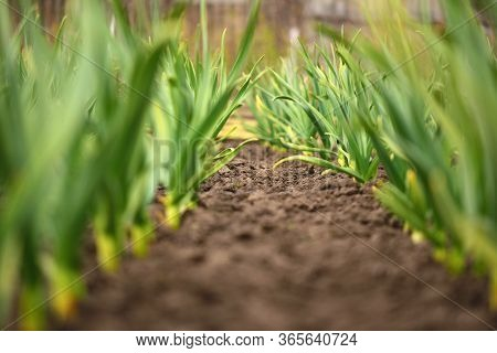 Organic Horticulture.  Row Of Garlic On The Plantation In The Backyard Garden.
