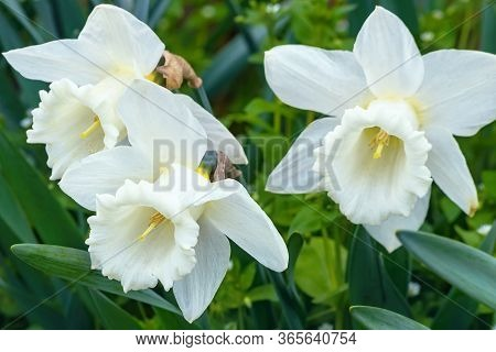 Daffodils Are White. Spring Flowering Of Daffodils In The Garden