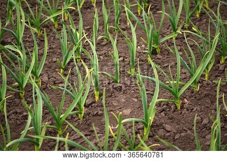 Organic Horticulture.  Garlic Plantation. Rows Of Plants In The Field.