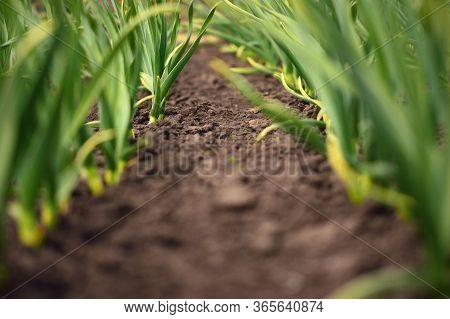 Garlic Plant Standing In A Row. Organic Horticulture. Copy-space.