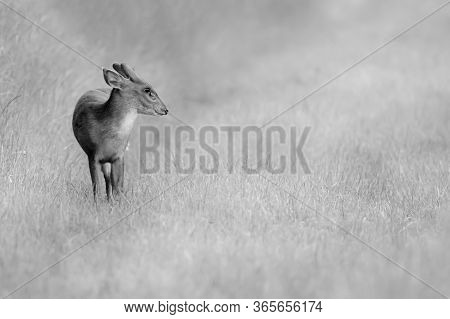 Wild Young Muntjac Deer Alone In A Natural Rural Landscape. Black And White Animal Close Up Portrait