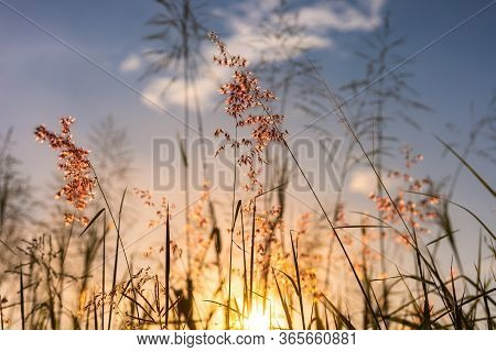 Close Up Flower Grass And Sunset Background.