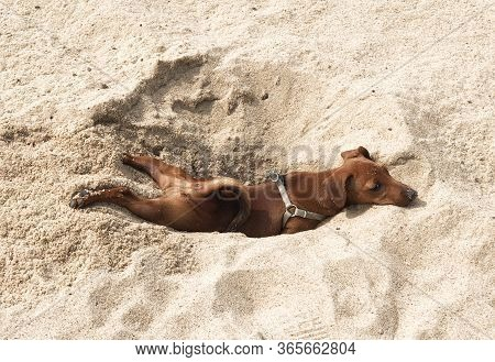 Little Puppy Dog Breed Miniature Pinscher Brown Resting On The Beach In The Sand In The Excavated Ho