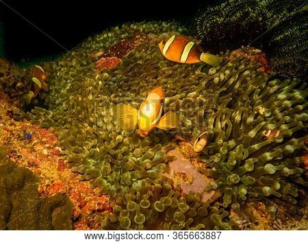 Clownfish (clark's Anemonefish) Or Amphiprion Clarkii At Its Habitat In A Stinging Sea Anemone