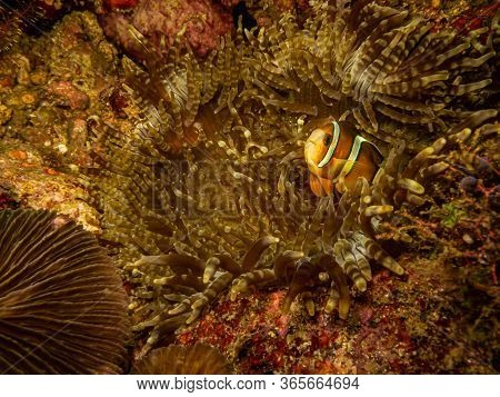 Clownfish (clark's Anemonefish) Or Amphiprion Clarkii Peaking Out From It\'s Home In A Stinging Sea