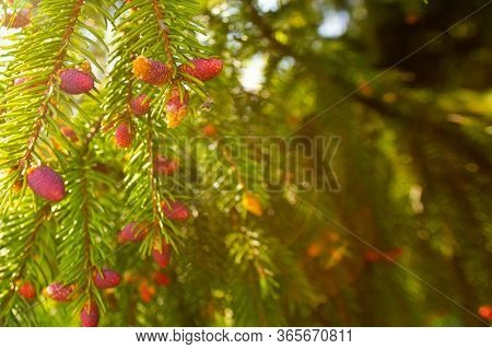 Fresh Young Red Pink Tiny Fir Cones On Branches. Sunny Day, Warm Light, Sunflare. A Photo With Free
