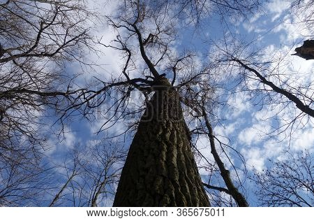 Old Trees In Park Against Blue Sky. Down Up Low Angle View