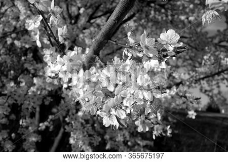 Fruit Tree In Blossom Close-up. Seasonal Natural Background