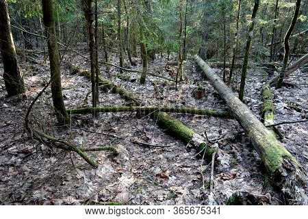 Fallen Trees In Wood. Wild And Natural Background.