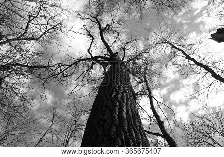 Old Trees In Park In Black And White. Down Up Low Angle View