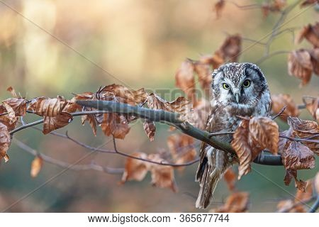 The Boreal Owl  Is Sitting On The Tree Branch In Autumn Colors