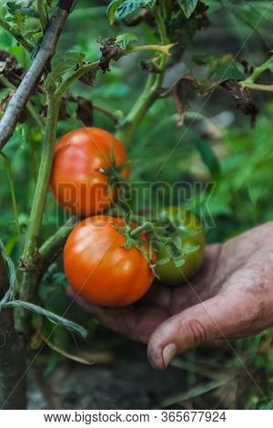 Womans Hands Harvesting Fresh Organic Tomatoes In Her Garden On A Sunny Day. Farmer Picking Tomatoes