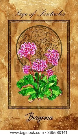 Page Of Pentacles. Minor Arcana Tarot Card With Bergenia And Magic Seal. Vintage Deck Enchanted Flow