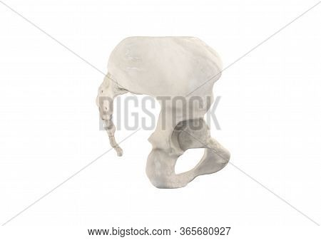 Pelvis, Human Skeleton, Female Pelvic Bone Anatomy, Hip, 3d Artwork, Bones Anatomy Right View, White