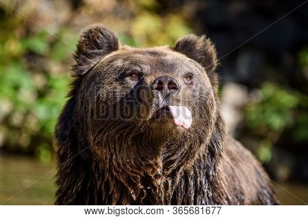 Close-up Funny Brown Bear Portrait With Outstretched Tongue. Danger Animal In Nature Habitat. Big Ma