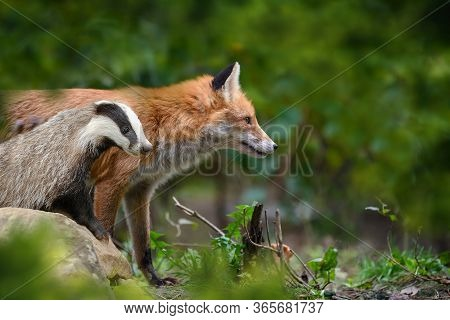 Red Fox, Vulpes Vulpes And Badger, Beautiful Animal On Green Vegetation In The Forest, In The Nature