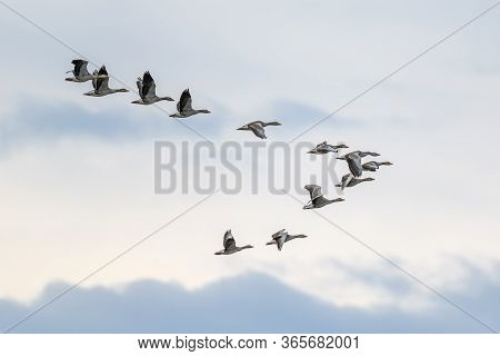 Flock Of Migrating Greylag Geese Flying In V-formation