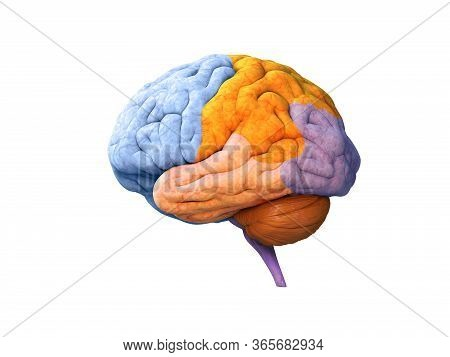 Human Brain Lobes, Anatomy Structure, Infographic, Psychology Concept. Functions Of The Mind, Intell