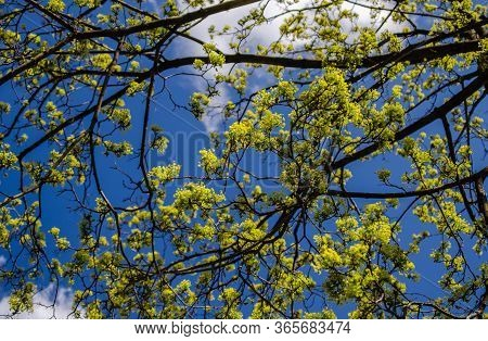 Spring Branches Of A Maple Tree With Barely Blossoming Leaves.