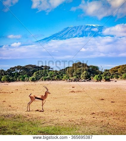 Thomsons Gazelle Or Tommie Stand On The Pasture In Kenya Over Kilimanjaro Mountain
