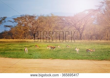 Thomsons Gazelle Or Tommie Group In The Wildness Of National Reserve Stand On The Pasture In Kenya