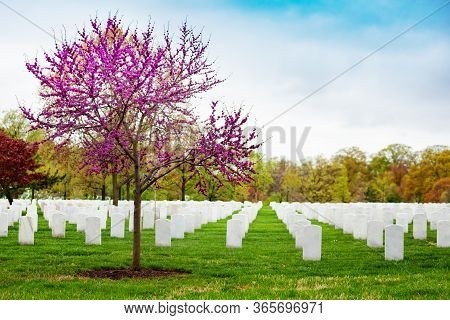Rows Of Tombs, Graves On Military Arlington Cemetery And Blooming Spring Cherry Tree With Flowers