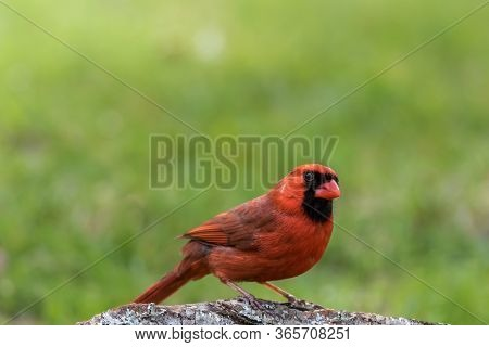 Northern Cardinal Male, Cardinalis Cardinalis, Perched On Tree Stump In Late Afternoon Green Grass B